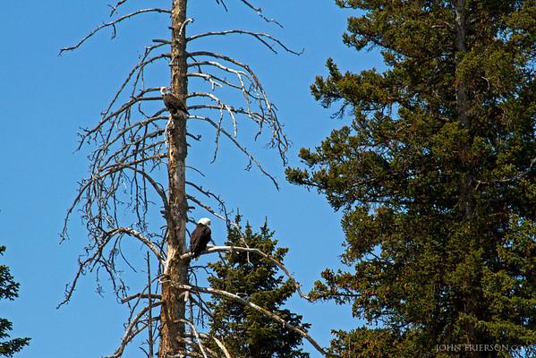 Bald Eagles, Yellowstone National Park