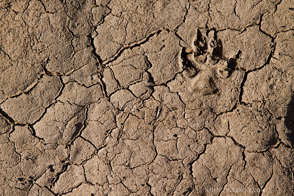 Coyote footprint in Big Bend