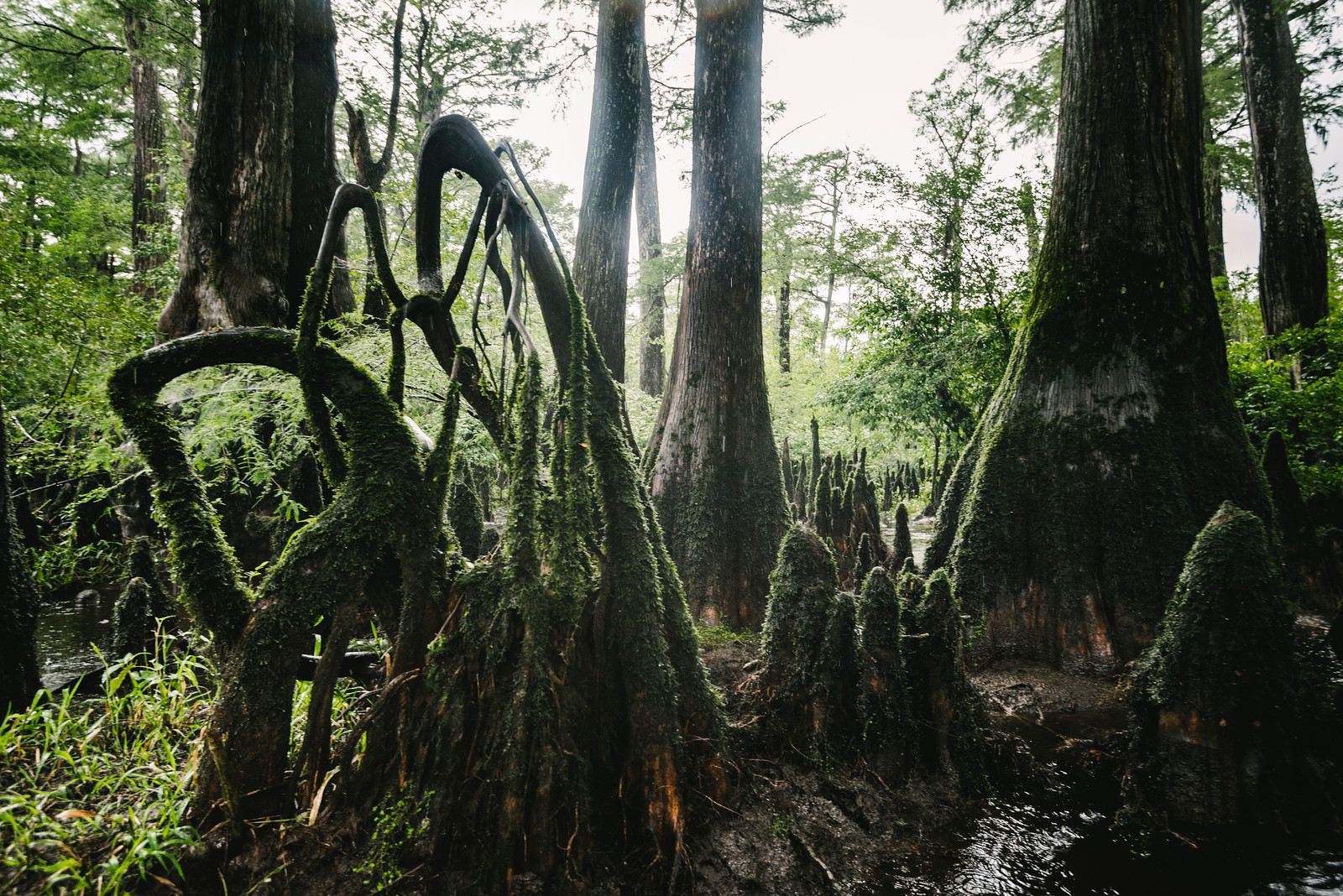 """The Three Sisters Swamp is the remnant of an ancient Baldcypress forest along the Black River, some 10 miles north of Wilmington. The only way in is by boat, and navigating through the twisted channels and man-sized cypress knees in low water is more like caving than paddling. There are """"hundreds"""" of millenial-aged trees here, making it the oldest remaining cypress forest in the world. It's a truly primeval place"""