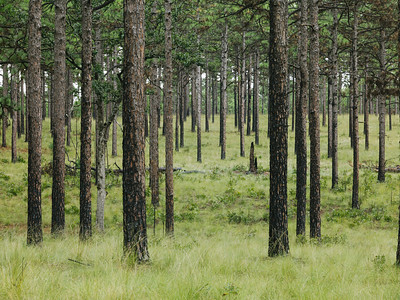 Some 4000 acres of longleaf pine habitat is heavily managed by prescribed burns at the Waltour Moss Foundation near Southern Pines to maintain this vestage of the great Pine Barrens. The result is classic longleaf: charred fire-resistant trees that find a natural spacing among a meadow-like understory. As it has for millenia, this ecosystem supports rare flora and fauna such as wiregrass and the red cockaded woodpecker.