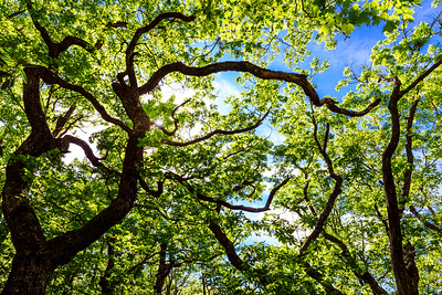 "A light breeze hints at the kind of constant wind and heavy weather that turns these trees into gnarled dwarfs over hundreds of years. It's a peaceful setting for wiccans, druids, and the Universalist Unitarian Church, which owns the environmentally-conscious retreat atop 4200' Little Scaly Mountain, known simply as ""The Mountain."" the UU Church manages the old growth in partnership with the Highland Cashiers Land Trust."