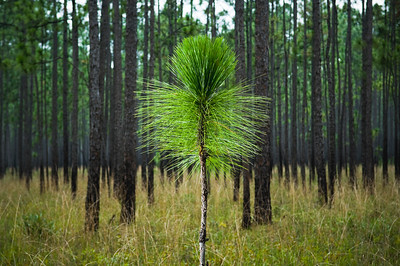 Longleaf Seedling