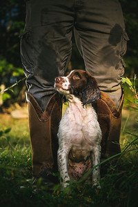 Rodney, a 12 week old English Spaniel at Tibea Gun Docks in Lancester SC. Cover of Garden & Gun Magazine, Dec/Jan 2018
