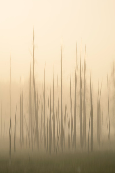 Fog of Forests Past