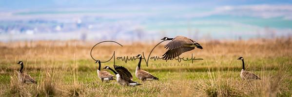 Goose In Flight over Field