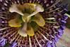 Lilikoi flower.  AKA passion fruit.at Hoomaluhia Botanical Garden