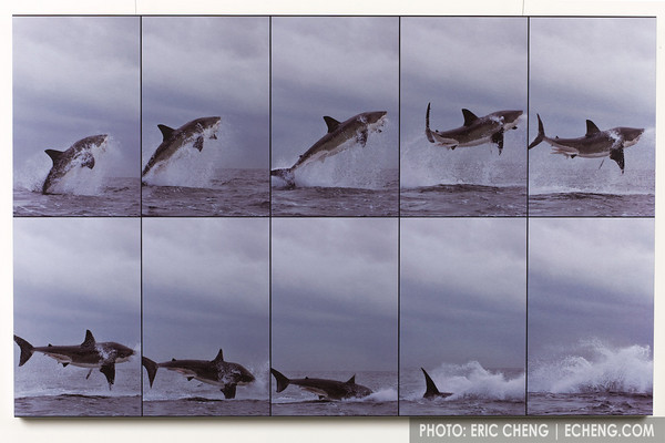 "Breaching Great White Shark<br /> False Bay, South Africa<br /> <br /> The power of a 14' great white shark as it launches itself completely out of the water is almost unimaginable. Great white sharks ambush Cape fur seals as they return at dawn from a night of feeding out at sea.<br /> <br /> Brushed aluminum, 48""x30""<br /> Limited Edition (of 50)   $1,250<br /> Framed and boxed for protection"