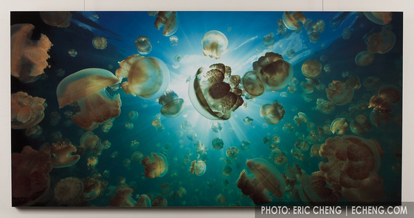 "Jellyfish Lake<br /> Palau<br /> <br /> Glittering like muted pulsing jewels, millions of Mastigias sp. jellyfish drift in circles around a land-locked lake in Palau, following rays of life-giving sunlight.<br /> <br /> White gloss aluminum, 60""x30""<br /> Limited Edition (of 50)   $2,500<br /> Framed and boxed for protection"