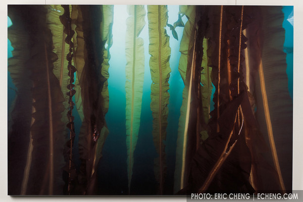 "Broad-winged Forest<br /> Alaska<br /> <br /> It is truly a humbling experience to swim within the towering stalks of a healthy kelp forest. Some kelp strands can reach longer than 200' in length, growing up to 18"" in a single day.<br /> <br /> White gloss aluminum, 48""x32""<br /> Artist's Proof   $1,200<br /> Framed and boxed for protection"