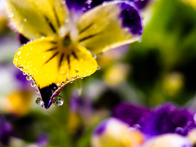 Pansy Dew Drops