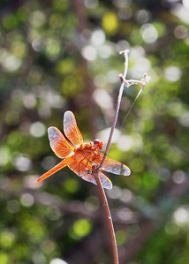 Red Dragonfly, Pacific Palisades, CA