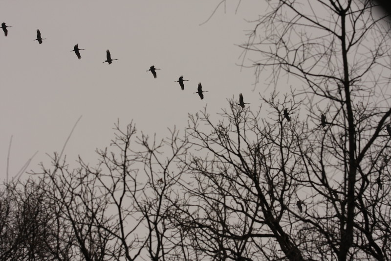 Sandhill Cranes over Winfield 3