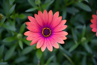 Daisy gradient