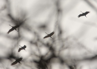 Sandhill Cranes over Winfield 1