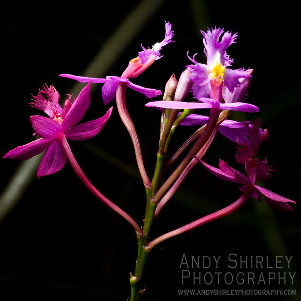 Orchid at tropical garden, Wailuku, Maui.