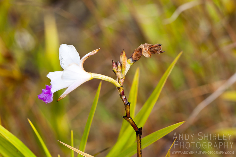 Bamboo Orchid, in Volcanoes National Park.