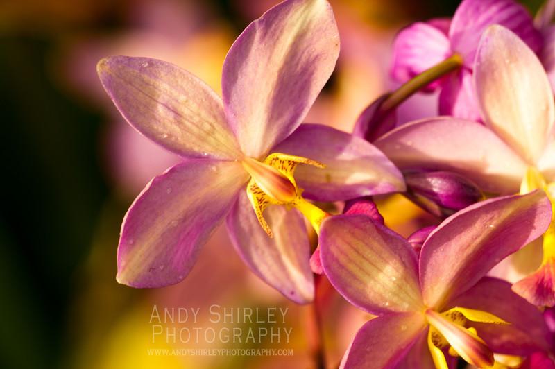 Orchids at Foster Botanical Garden