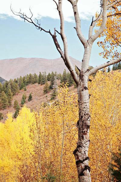 Aspen in Fall