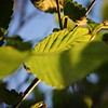 Maple Leaves in Green