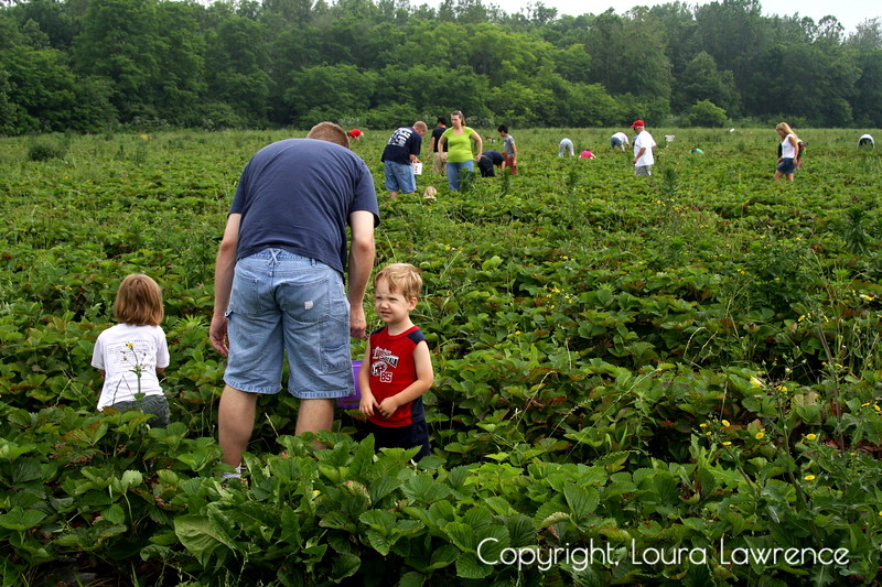 Picking Strawberries <br /> Troy, OH