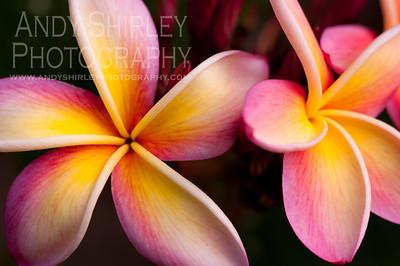 Plumeria, taken at Dean Conklin plumeria garden, Koko Crater, Oahu.