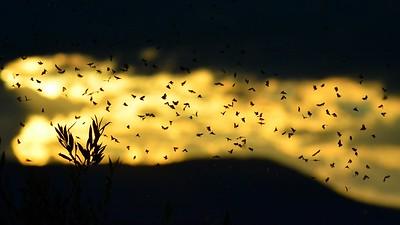 Hydropsyche Swarm