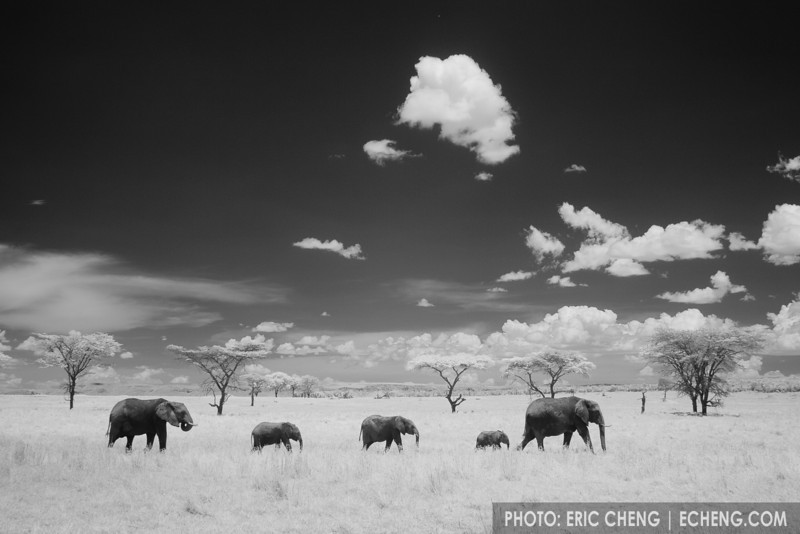 Five elephants walk in a line in the Serengeti, Tanzania (infrared).