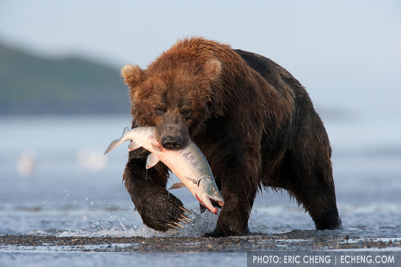 A Kodiak bear (Ursos arctos middendorffi) catches a salmon in Hallo Bay, Alaska.