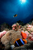An anemonefish aerates her eggs as her partner patrols the water above. Palau.