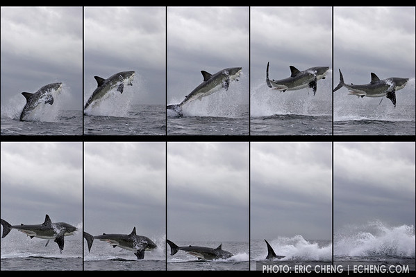 Breaching great white shark sequence off of Seal Island, False Bay (Simonstown, Cape Town, South Africa)