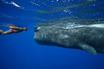 Andrew, a local guide, is friends with Scar, a 10-year old sperm whale (Physeter macrocephalus) in Dominica.