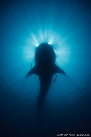 A silhoutte of a whale shark (Rhincodon typus) with a sunball behind it. Isla Mujeres, Mexico.