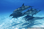 Mixed dolphin pod -- Atlantic spotted dolphins and bottlenose dolphins (Tursiops truncatus), Bahamas.
