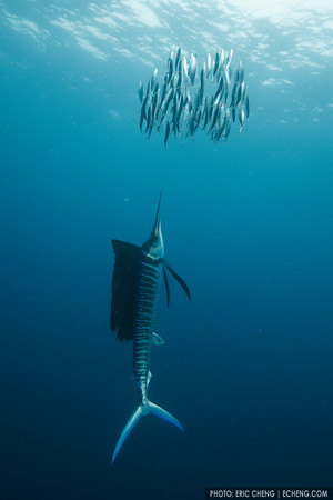 An Atlantic sailfish (Istiophorus albicans) drives a school of sardines up to the surface. Isla Mujeres, Mexico. echeng100118_0243895<br /> <br /> Canon EOS-5D Mark II, Canon 16-35mm f2.8L lens @ 16mm, Seacam underwater housing<br /> <br /> 1/250s @ f/7.1, ISO 640