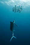 An Atlantic sailfish (Istiophorus albicans) drives a school of sardines up to the surface. Isla Mujeres, Mexico. echeng100118_0243895  Canon EOS-5D Mark II, Canon 16-35mm f2.8L lens @ 16mm,  ...