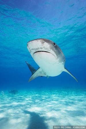 Tiger shark (Galeocerdo cuvier) portrait, Bahamas