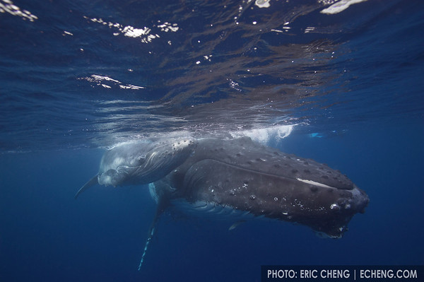 A humpback whale calf and mother, Tonga, 2006.