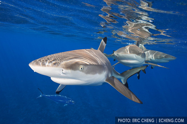 Black-tip reef sharks at the surface, Moorea, French Polynesia