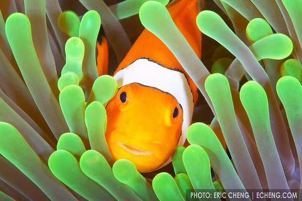 False percula clownfish in its host anemone, Sulawesi, Indonesia