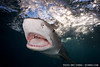 Tiger shark (Galeocerdo cuvier) at the surface, Bahamas