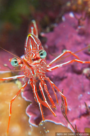 Durban's hingebeak shrimp, Solomon Islands
