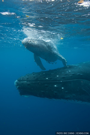 A mother humpback whale (Megaptera novaeangliae) stays close to her young calf to be prepared to help it breathe at the surface. Vava'u, Tonga.
