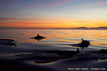 Common dolphins at dawn, Simonstown, South Africa