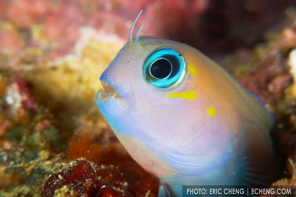 Blenny portrait, Solomon Islands