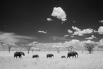 Five elephants walk in a line in the Serengeti, Tanzania (infrared).  Canon EOS 20D modified for infrared use, Canon 28-135 IS lens @ 28mm  1/125s @ f/7.1, ISO 200