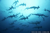 A school of scalloped hammerhead sharks, Darwin, Galapagos