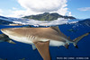 Black-tip reef shark at the surface, Moorea, French Polynesia