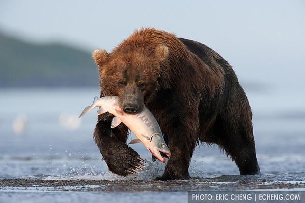 A Kodiak bear (Ursos arctos middendorffi) catches a salmon in Hallo Bay, Alaska.<br /> <br /> Canon EOS-1Ds Mark II, Canon 600mm lens with 1.4x teleconverter<br /> <br /> 1/800s @ f/8, ISO 800
