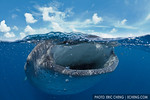 A whale shark (Rhincodon typus) feeds on bonito eggs at the surface. Split image. Isla Mujeres, Mexico.