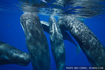 A group of sperm whales (Physeter macrocephalus) rub up against each other while socializing. echeng100130_0249324  Canon EOS-5D Mark II, Tokina 17mm f3.5 lens, Seacam underwater housing  1/ ...